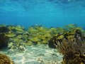 Fish school in a coral reef of the caribbean sea seabed with shoal grunt Stock Image