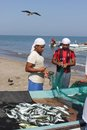 Fish seller in barka oman market on the beach of gulf are selling directly from the boat it s amazing to see how witness Royalty Free Stock Image