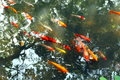 Fish shallow flocks of swimming in ponds Stock Photography