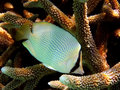 Fish : Speckled butterflyfish Stock Photography