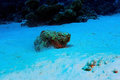 Fish stone on the seabed synanceia verrucosa Royalty Free Stock Photography