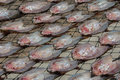 Fish sunbath mackerel or sardines fishes for to be dried in thailand Stock Images