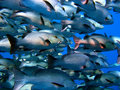 Fish swarm Stock Photography