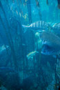 Fish swimming in a tank with algae at the aquarium Royalty Free Stock Image