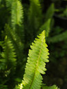 Fishbone Fern Leaf Royalty Free Stock Photo