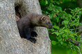 Fisher in a hollow tree adult Royalty Free Stock Image