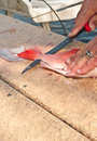 Fisherman cleaning  and filleting red snapper fish Royalty Free Stock Photo