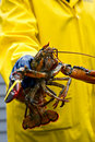 Fisherman and his freshly caught Maine lobster Royalty Free Stock Photo