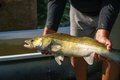 Fisherman keeeps big fish - zander. Royalty Free Stock Photo