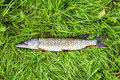 Fisherman trophy freshwater fish pike lying on the grass green Royalty Free Stock Photography