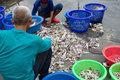 Fisherman worker sorting fish in thailand Stock Images