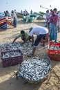 Fishermen sort their catch of fish ready for sale on Arugam Bay beach in Sri Lanka. Royalty Free Stock Photo