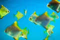 Fishes in aquarium swimming blue water Royalty Free Stock Photography
