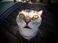 Fisheye shot of british shorthair cat