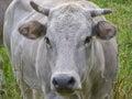 Fisheye view of Cow mammal Royalty Free Stock Photo