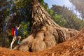 Fisheye view of man pointing at big tree, Redwood Royalty Free Stock Photo