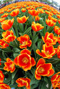 Fisheye view of orange tulips Royalty Free Stock Images