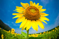 Fisheye view of sunflowers