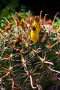 Fishhook Barrel Cactus Stock Photography