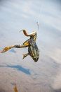 Fishing. Bait for cat-fish - frog on hook on the river Royalty Free Stock Photo