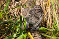 Fishing Cat Hunting in Long Grass Royalty Free Stock Images