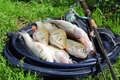 Fishing catch zander chub and perch on the grass gear Royalty Free Stock Images