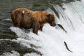 Fishing Grizzly bear Royalty Free Stock Photo