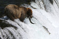 Fishing grizzly bear is for sockeye salmon brooks falls katmai national park alaska Stock Images