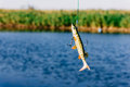 Fishing lure catching a fish casting in danube river Stock Images