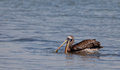 Fishing Peruvian Pelican Royalty Free Stock Images