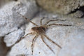 Fishing spider dolomedes tenebrosus a macro shot of a young Royalty Free Stock Photos
