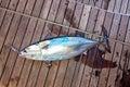 Fishing tuna fish at the deck of a sailing yacht at the aegean sea Royalty Free Stock Image