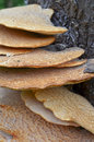 Fistulina hepactica, bracket fungus on tree trunk Stock Photos