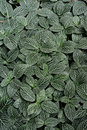 Fittonia plant leaves pattern featured background and texture Royalty Free Stock Photos