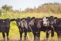 Five angus steers Royalty Free Stock Photo