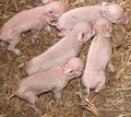 Five baby newborn pigs piglets live animals one day old on farm Stock Image
