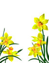 Five bright yellow flowers narcissuses with green Royalty Free Stock Photo
