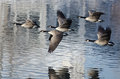 Five Canada Geese Taking to Flight from a Lake Royalty Free Stock Photo
