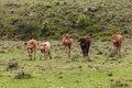 Five cattle brown and black in a farm in rio grande do sul brazil Stock Photo