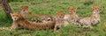 Five cheetahs in the savannah. Kenya. Tanzania. Africa. National Park. Serengeti. Maasai Mara. Royalty Free Stock Photo