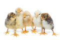 Five chickens on white background