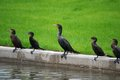 Five Cormorants Sunning Next to a Waterway Royalty Free Stock Photos