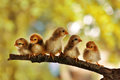 Five of cute chicks Royalty Free Stock Photos