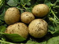 Five fresh new potatoes Royalty Free Stock Image