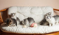Five grey kittens Royalty Free Stock Photography