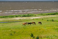 Five horses grazing on the green lush meadow near the sea Royalty Free Stock Photo