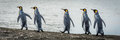 Five king penguins in line on beach Royalty Free Stock Photo