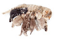 Five kittens brood feeding by mother cat Stock Image