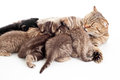 Five kittens brood feeding by mother cat Stock Photo