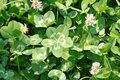 "Five leaf clover ""very lucky clover"" white dutch trifolium repens on the field very rare variation of the three Royalty Free Stock Image"